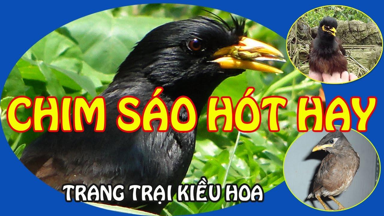 Chim sáo đen khôn hót hay 4 năm tuổi tên BIN | TRANG TRẠI KIỀU HOA