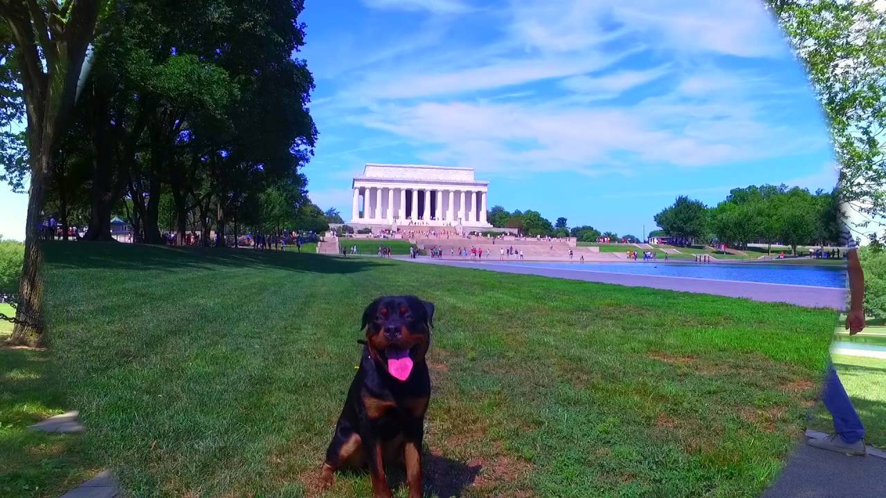 8 Month Old Rottweiler Rocko Rottweiler Dog Trainers In Virginia