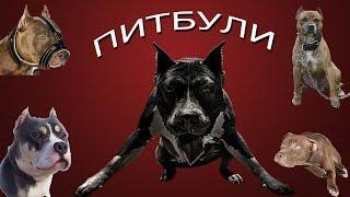 🚫 Американский питбультерьер   МИФЫ и ПРАВДА 🚫(Кто такой американский питбультерьер - собака-убийца или ласковая собака, любящая людей? Где миф, а где прав..., 2016-06-09T09:44:32.000Z)
