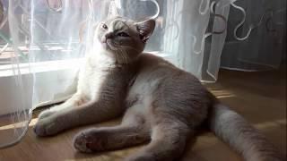 Британский котенок 4 месяца. British Shorthair Kitten