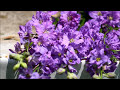 How to Grow Larkspur Cut Flower Farm Gardening Growing Flowers from Seed Garden Flowers Farmer
