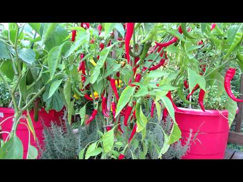 Container Gardening: The Cayenne Pepper