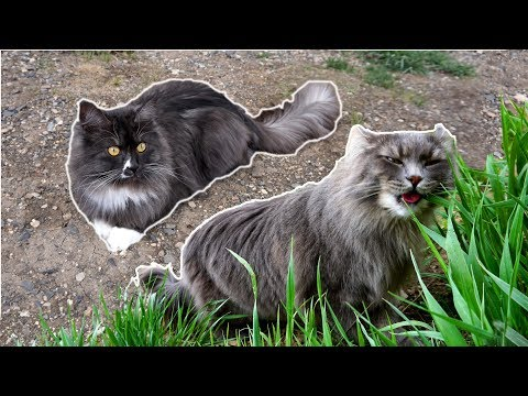 What's so COOL About Siberian Forest Cats?