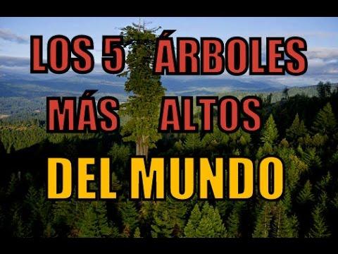 Los 5 rboles m s altos del mundo youtube for Arbol mas grande del mundo