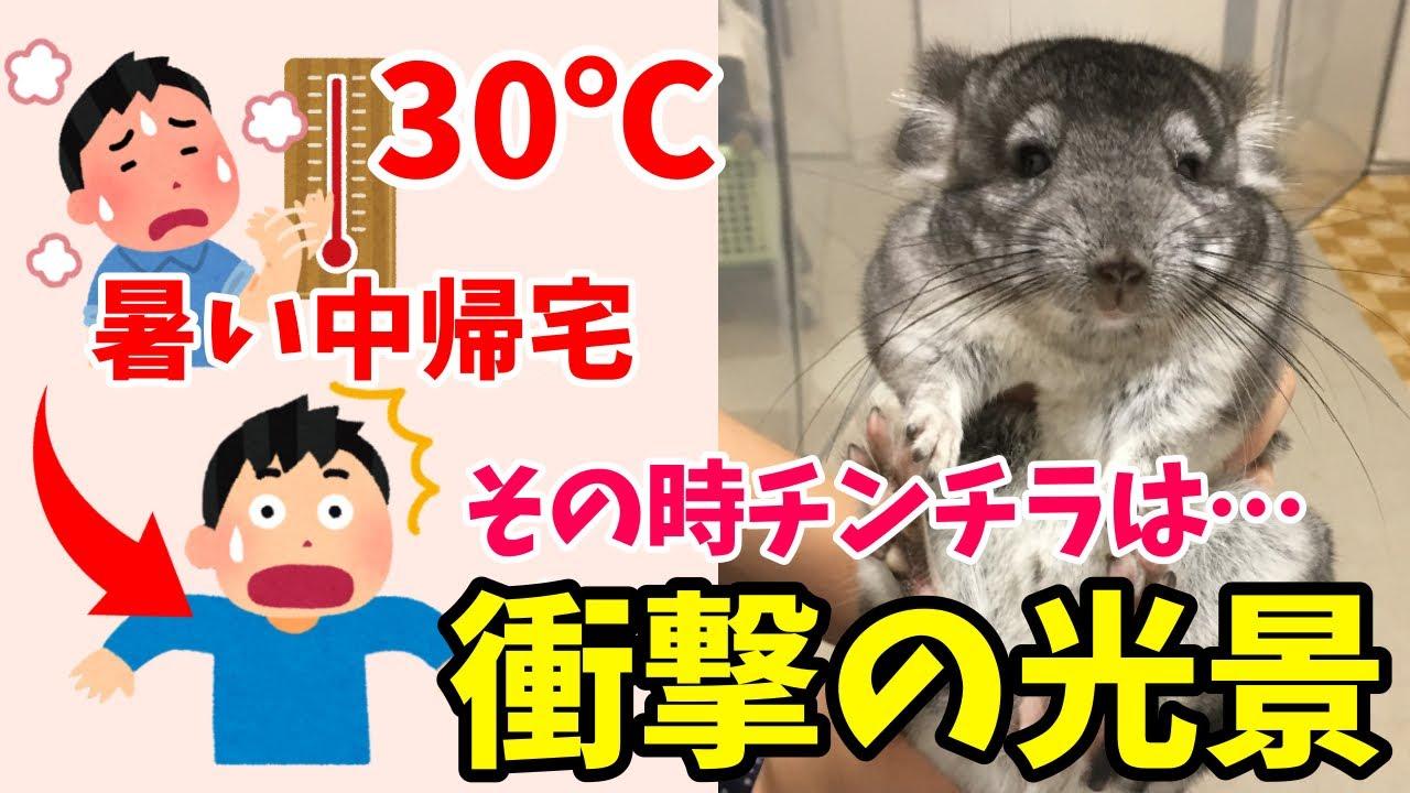 【夏】気温30℃…暑い中帰宅したらチンチラが…