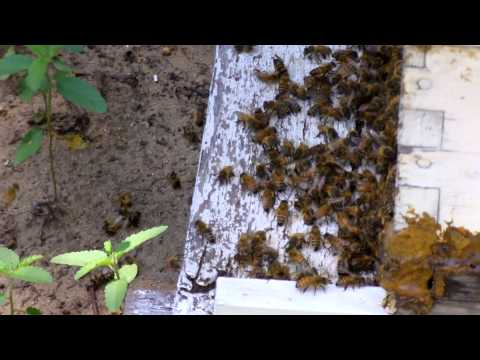 Honey bees killed from pesticides