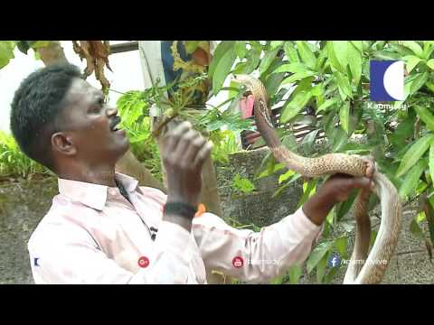 Vava Suresh catching long Cobras | Snake Master ep 203 11-11-2016 | Kaumudy TV