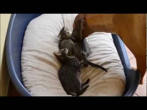 Dog takes care of kittens