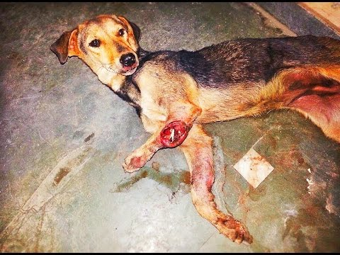 Dog suffering on the streets of Punjab gets second chance across the world . ANIMAL RESCUE INDIA