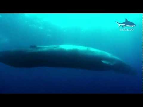 The biggest animal on planet Earth - The Blue Whale