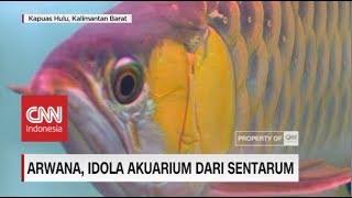 Arwana, Idola Akuarium dari Sentarum | Insight with Desi Anwar (1-5)
