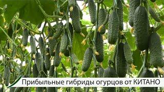 Прибыльные гибриды огурцов от КИТАНО.