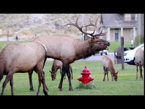 Bull Elk Bugle at Mammoth Hot Springs in Yellowstone