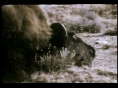 Le bison d 39 am rique du nord youtube - Coloriage bison d amerique ...
