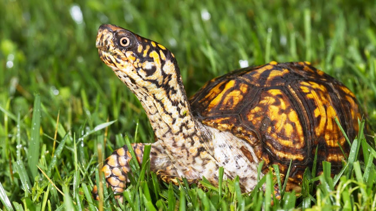 R Turtles Good Pets What's a Box Turtle?  ...