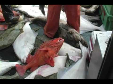 Alaska World Class Fishing Homer Lingcod Halibut Salmon Rockfish Yelloweye