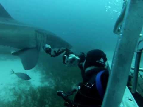 David Pearlman Photographs Great White Shark