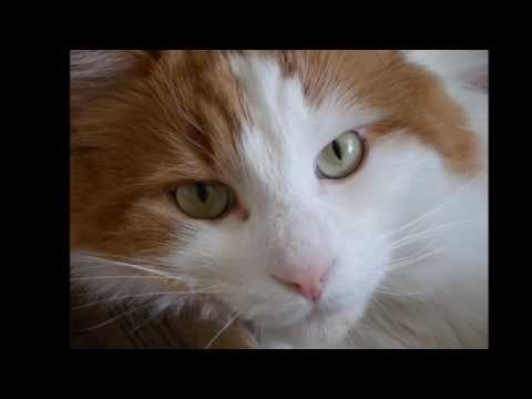 Turkish van cat History, Personality, Health, Care