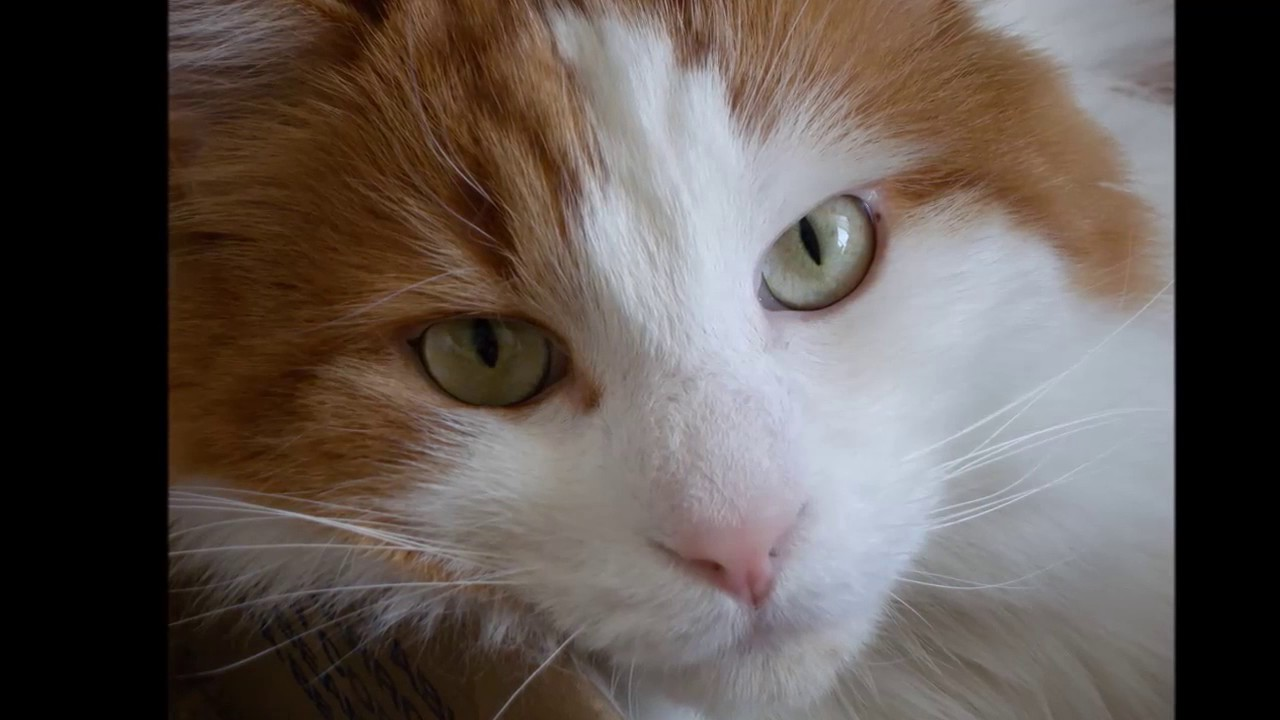 5ceac31c00 Turkish van cat History