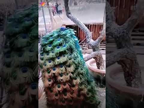 Sajan Tumse Pyar Ki Ladai Me Song With Peacock Movements