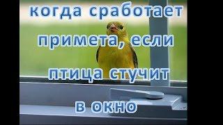 если птица стучит в окно  - какая примета и что делать (воробей, голубь и прочие птицы)