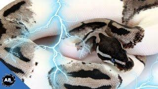 Lightning Piedbald & Epic Ball Python Morphs! SnakeBytesTV - Ep. 409
