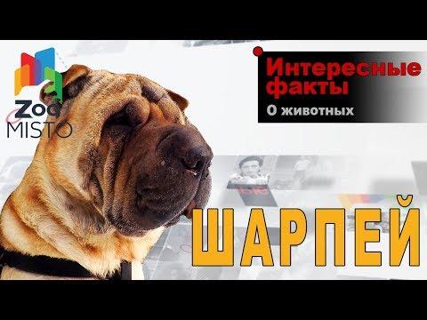 Шарпей - Интересные факты о породе    Собака породы шарпей