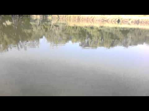 ловля толстолоба на планктон видео 2017