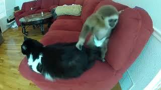 Приколы с котами - беспокойная обезьяна