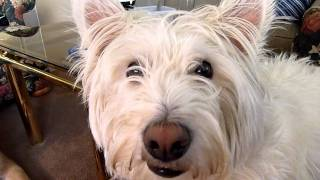 Anorexic Westie Dog Forced Into Serious Intervention.