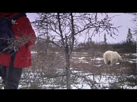 Die Eisbären von Manitoba (Kanada) - Reportage