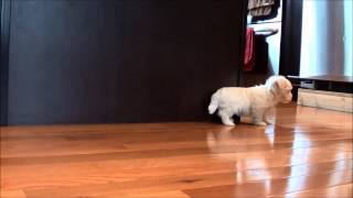 Maltese Puppies For Sale January 12, 2015