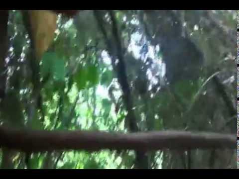 Bán mật ong rừng nguyên chất - Video lấy mật 9