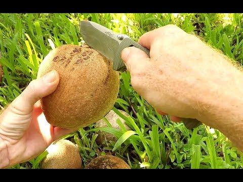 First Time Trying Mamey Sapote Fruit