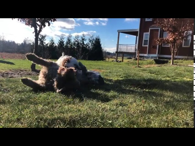 Lagotto teaching pups to play nicely