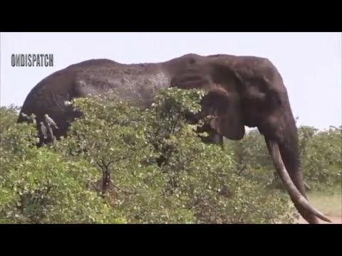Real Animals Fight Lion Fail Hunting vs Elephant thumbnail