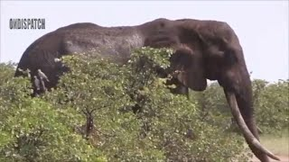 Real Animals Fight Lion Fail Hunting vs Elephant