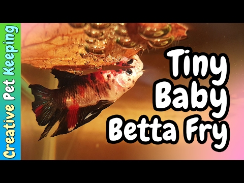 Bouncing Babies | Tiny Betta Fish Fry
