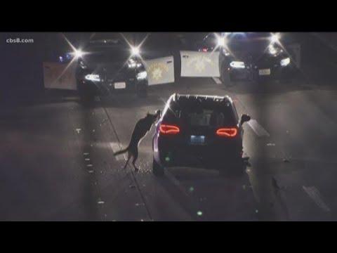 Download San Diego Sheriff's K-9 takedown goes viral