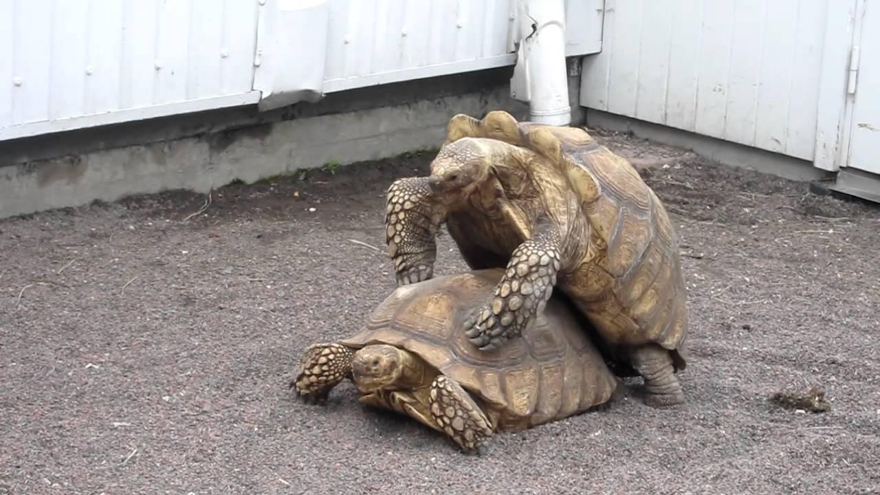 Оргазм черепахи прикол #11