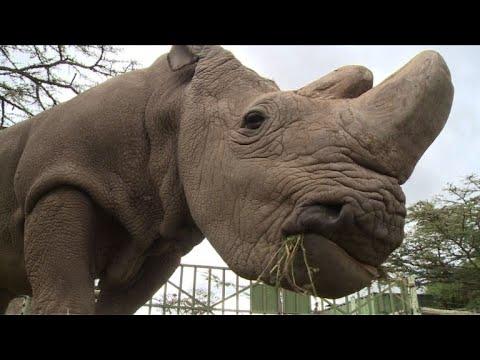 Morre último rinoceronte branco do norte macho