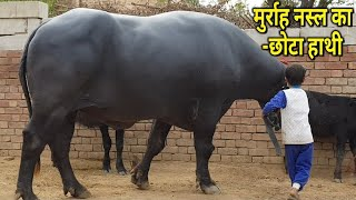 👍FOR SALE- Champion Murrah Bull, #Sultan Son (छोटा हाथी) Available for Sale👍