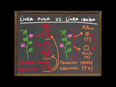 Leggi di Mendel PT4 - segregazione e distinzione fenotipo/genotipo