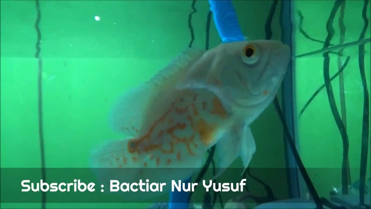 Mengenal Ikan Oscar Albino Jenis Ikan Hias Air Tawar Predator Youtube