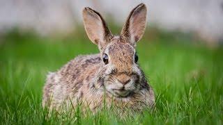 Разведение кроликов в ямах / Розведення кролів в ямах(Разведение кроликов в ямах / Розведення кролів в ямах . Якщо тварини звикли жити в клітці, а їм різко помінял..., 2016-10-26T15:58:12.000Z)