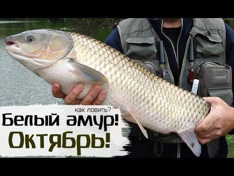 Как-на-что-и-где-ловить-белый-амур-осенью-в-октябре?-Амур-рыбалка-в-октябре!