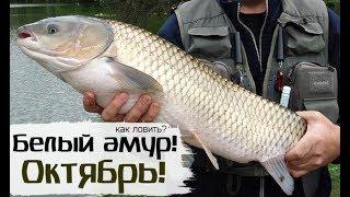 Как на что и где ловить белый амур осенью в октябре Амур рыбалка в октябре