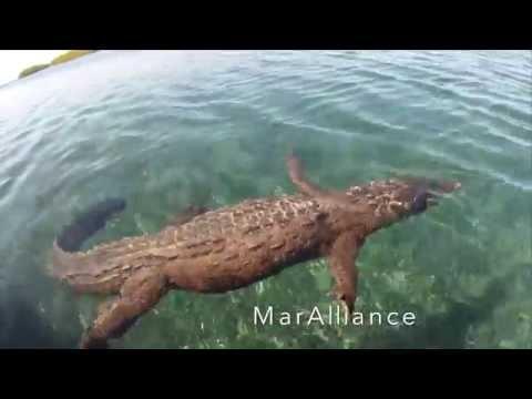 Crocodile encounters, Cuba