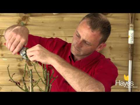 How To Prune A Standard Rose