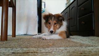 シェルティ 4か月の子犬 ドライささみのおやつを食べる.